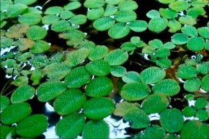 Water Spangles (Salvinia minima) Care Guide – Planting, Growing, and Propagation