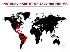 Water Spangles (Salvinia minima) Care Guide - natural habitat