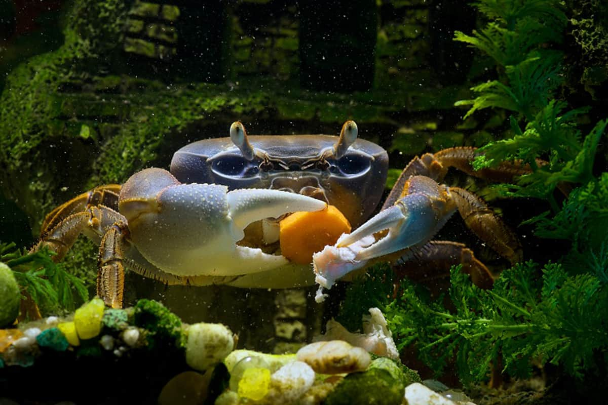 What Do Crabs Eat and How to Feed Them