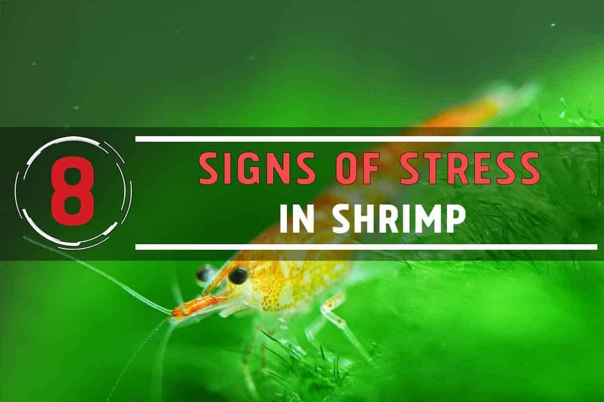 8 Signs of Stress in Aquarium Shrimp