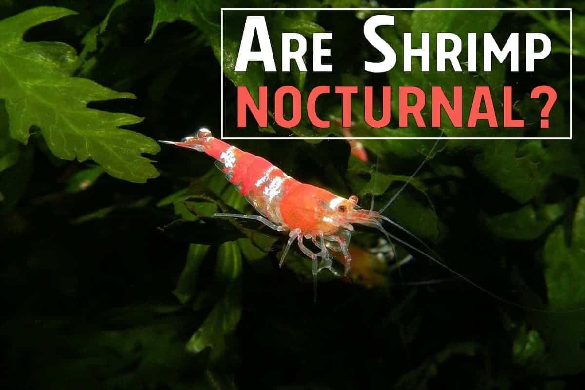 Are Shrimp Nocturnal
