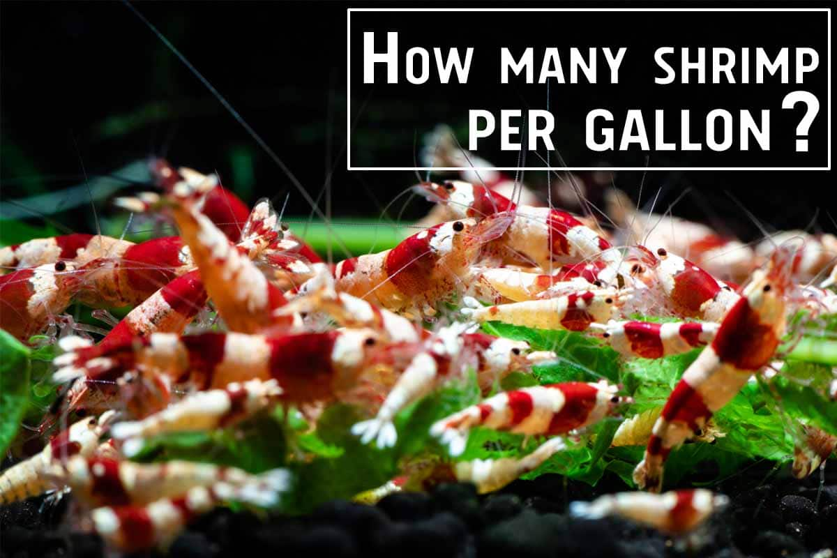 How Many Shrimp Can I Have in My Tank? Optimal Density