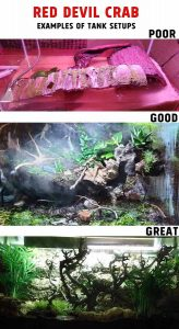 How to Care and Handle Red Devil Crabs - tank setup examples
