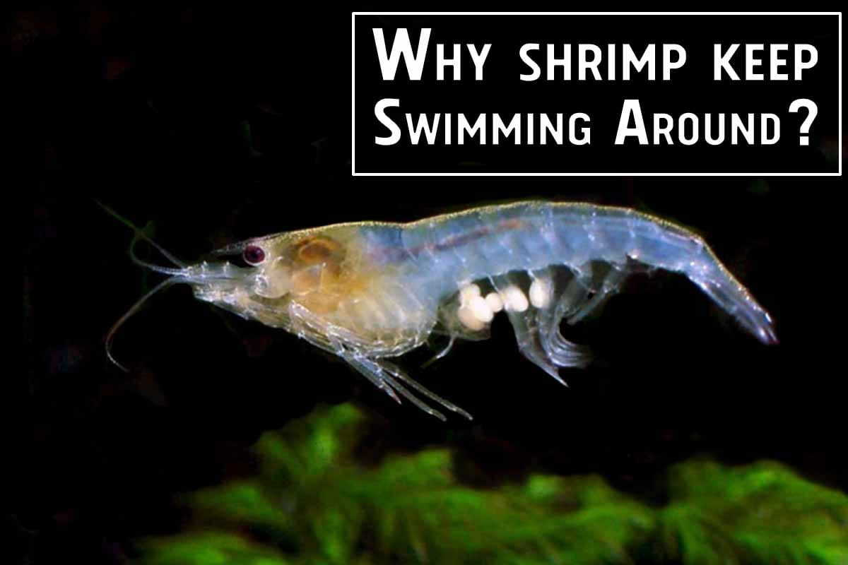 Shrimp Behavior: Why Do They Keep Swimming Around? Reasons and explanations