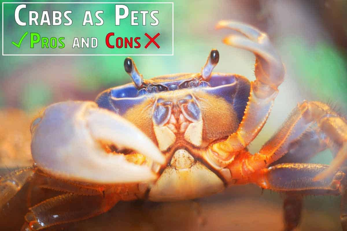 Crabs as Pets Pros and Cons