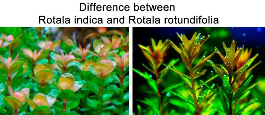 Difference between Rotala indica and Rotala rotundifolia