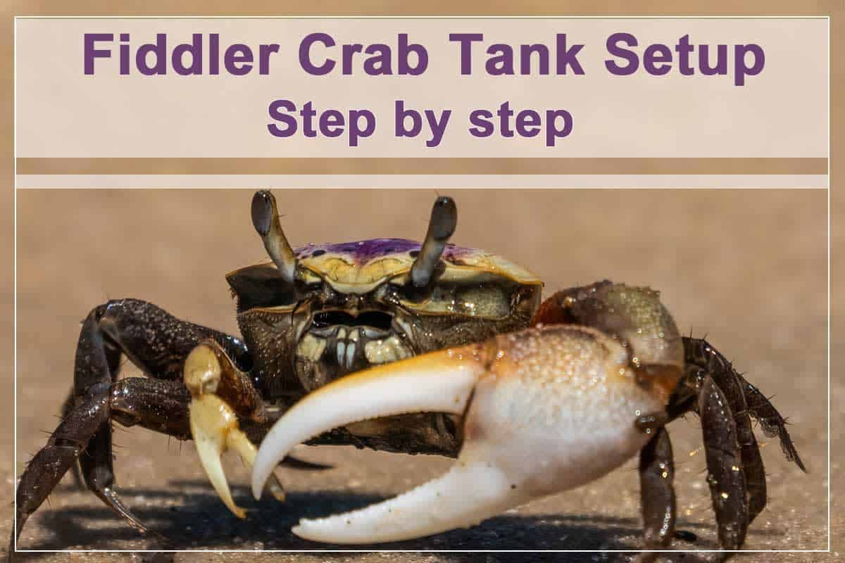 How to Set up a Fiddler Crab Tank