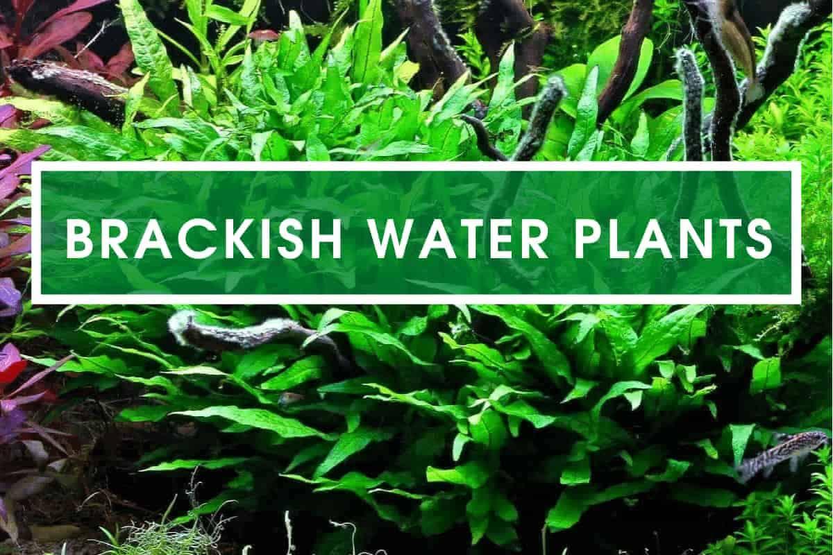 List of Plants for Brackish Water Tanks