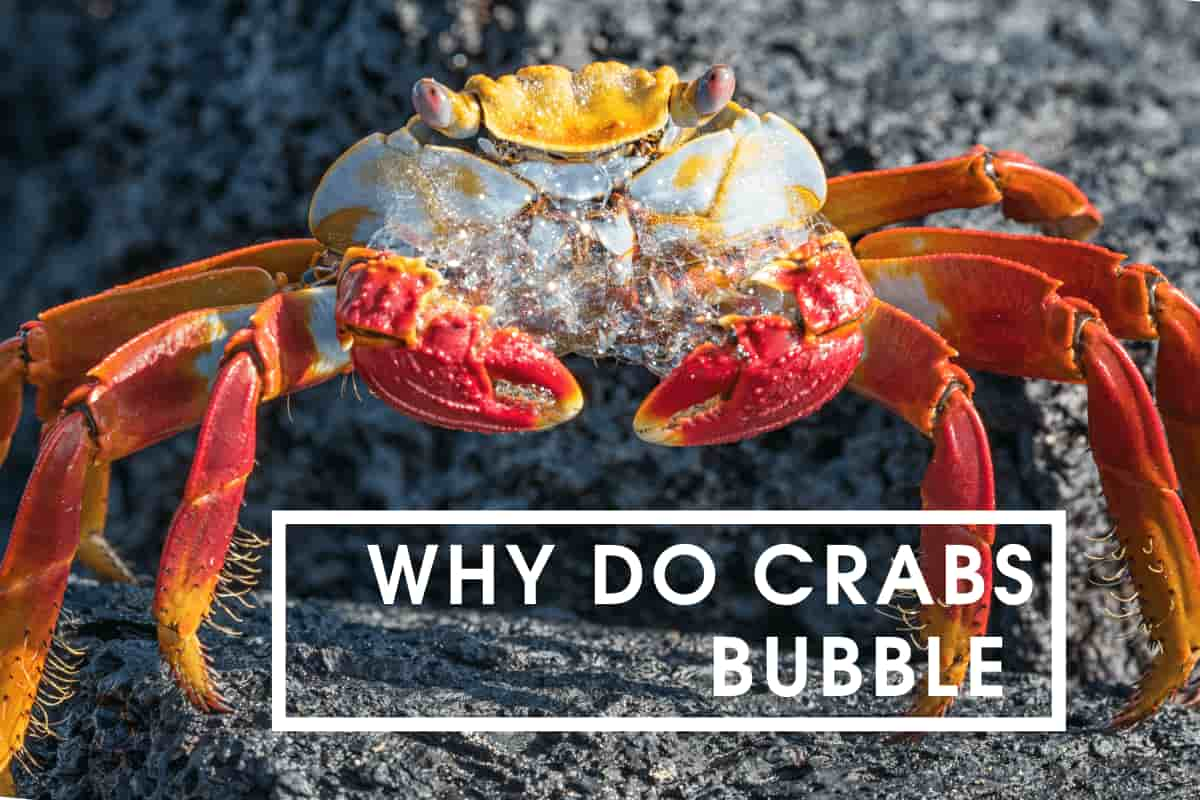 Why Do Crabs Bubble At The Mouth