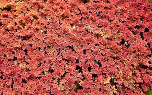Fairy Moss (Azolla) Care Guide – Planting, Growing, and Propagation - red