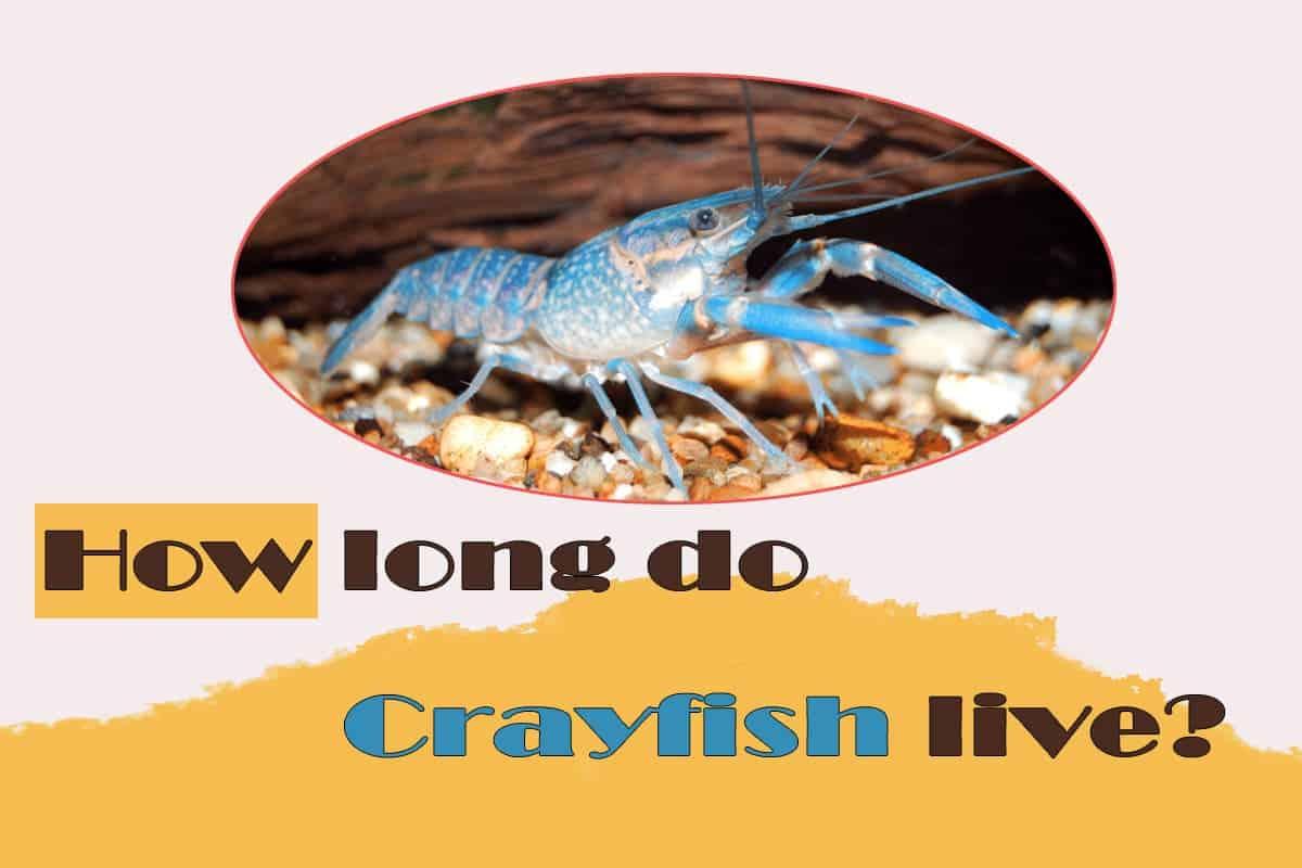 How Long Do Crayfish Live. Lifespan Life expectancy