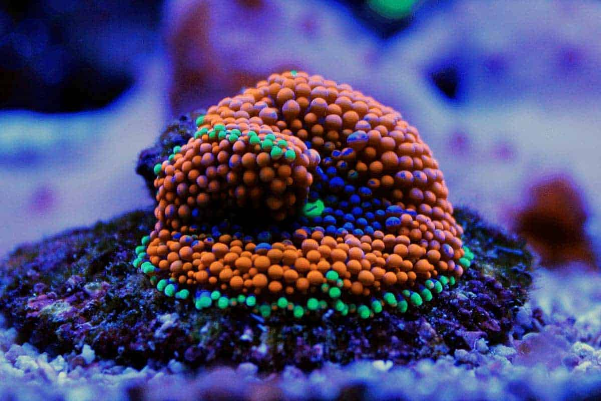 How to Care for Ricordea Coral