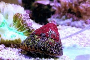 Red Banded Trochus Snails – Detailed Guide Care, Diet, and Breeding