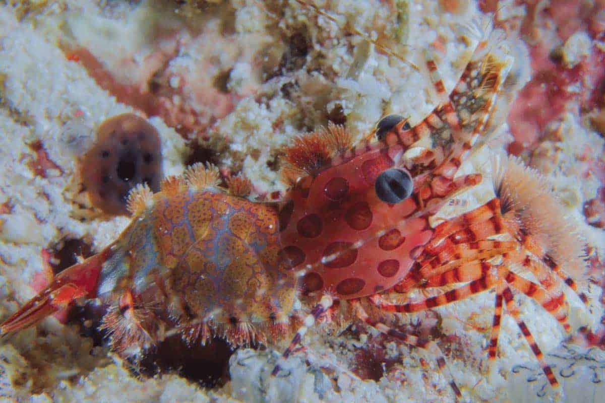 Saron Shrimp (Saron marmoratus) – Detailed Guide Care, Diet, and Breeding