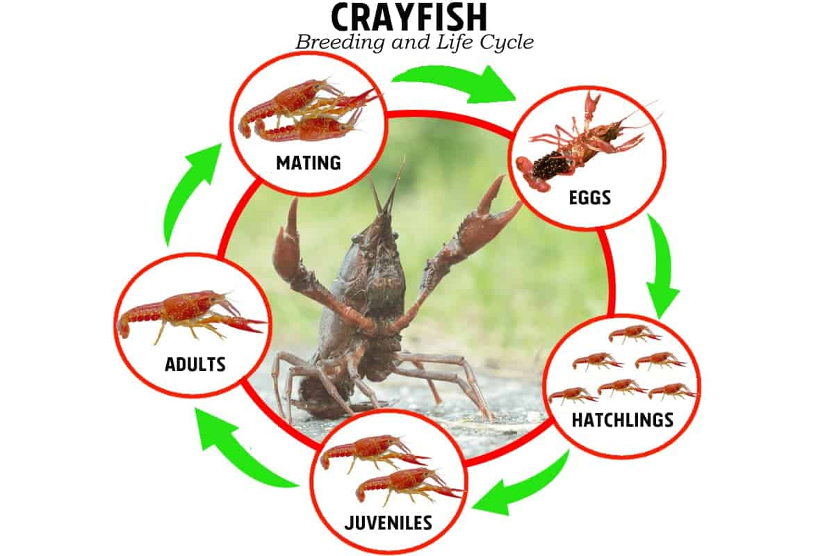Breeding and Life Cycle of Crayfish