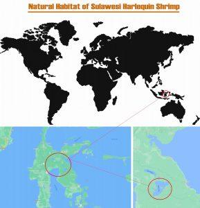 Natural Habitat of Sulawesi Harlequin Shrimp (Caridina woltereckae)